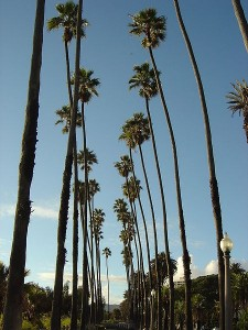 Palm Trees on Ocean Blvd. in SaMo